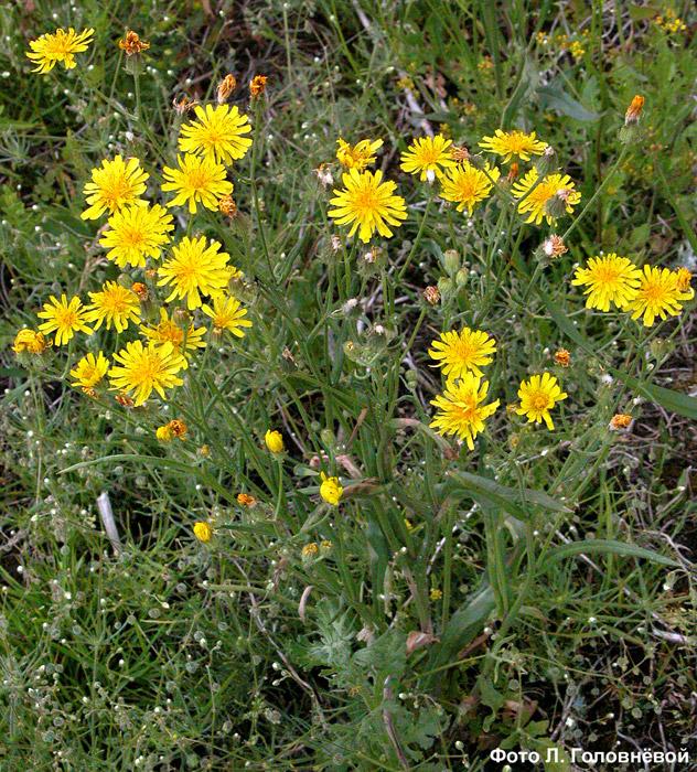 Crepis tectorum L. u2014 Скерда кровельная: flowerf.ru/index.php/10987-kak-sdelat-sinyak-v-fotoshope